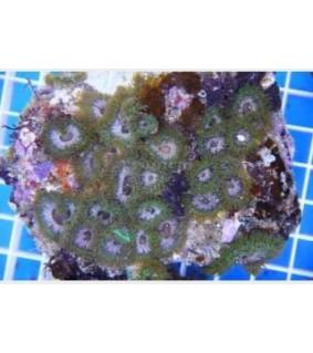 Anemonia sp. - Anemone Mushroom Rock