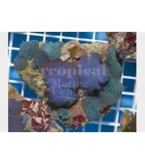 Discosoma spp. - Blue Mushroom Rock