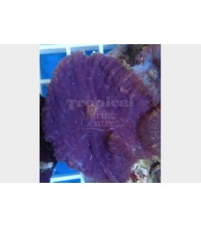 Rhodactis spp. - Bullseye (Per / Polyp) - Purple