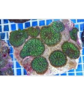 Rhodactis inchoata - Bullseye Mushr. Rock - Coloured