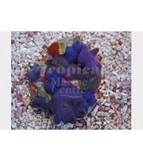 Discosoma spp. - Cultured Mushroom Rock - Blue