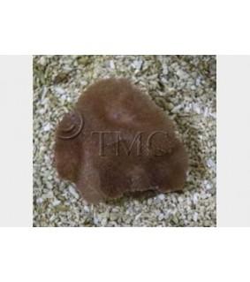 Rhodactis spp. - Furry Mushroom Rock