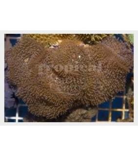 Rhodactis spp. - Furry Mushroom Rock - Blue
