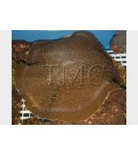 Amplexidiscus fenestrafer - Giant Cup Mushroom Rock