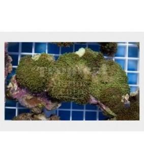Rhodactis indosinensis - Green Furry Mushroom Rock