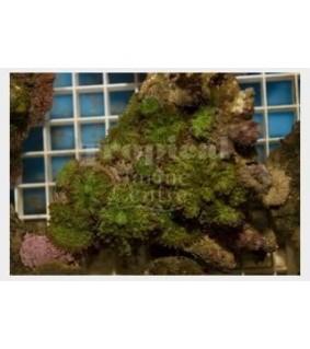 Ricordea yuma - Green Knobbly Mushroom Rock