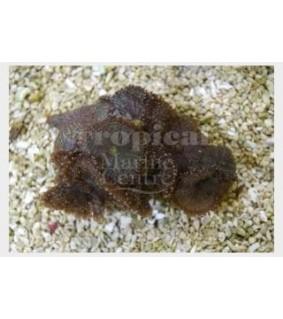 Ricordea yuma - Knobbly Mushroom Rock