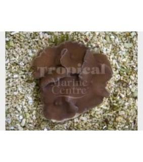 Rhodactis mussoides - Leather Mushroom Rock