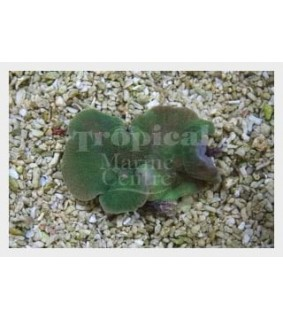 Rhodactis mussoides - Leather Mushroom Rock - Green