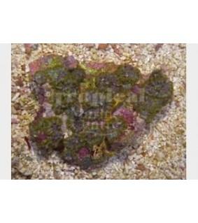 Discosoma spp. - Marbled Mushroom Rock