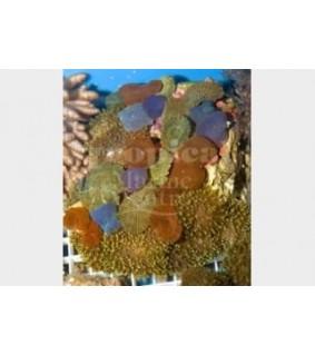 Various spp. - Multicolour Combi Mushr. Rock
