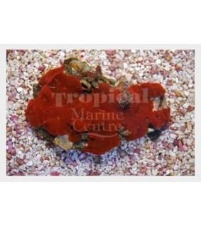 Discosoma cardinalis - Red Mushroom Rock