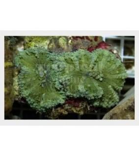 Ricordea yuma - Ricordia LG (per polyp) - Coloured