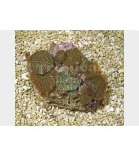Discosoma striata - Striped Mushroom Rock
