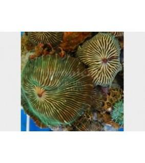 Discosoma striata - Striped Mushroom Rock - Cultured