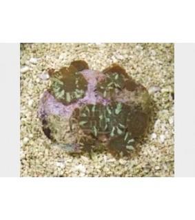 Discosoma marmoratus - Watermelon Stripe Mushr. Rock