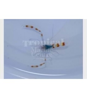 Stenopus tenuirostris - Boxing Shrimp - Blue