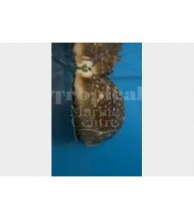 Neobernaya spadicea - Cowrie - Chestnut