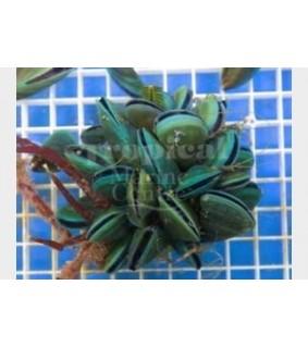 Perna viridis - Mussel Cluster - Green