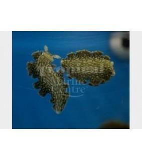 Elysia crispata - Slug - Frilly