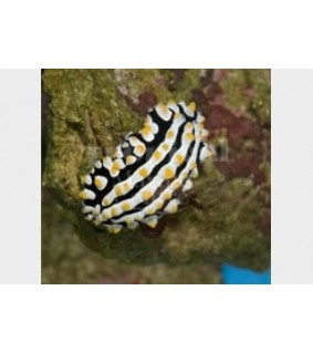 Phyllidia varicosa - Slug - Orange Spot