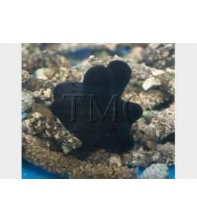 Coriocella hibaye - Slug - Quazimodo