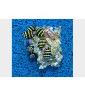Engina mendicaria - Snail - Bumble Bee