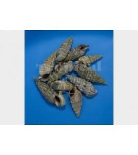Cerithium spp. - Snail - Cerith