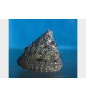 Tectus fenestratus - Snail - Giant Turbo