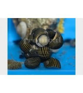 Neritina spp. - Snail - Nerite