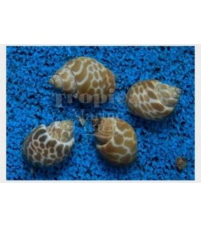 Babylonia formosae - Snail - Orange Marble
