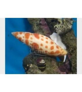 Mitra mitra - Snail - Orange Spot