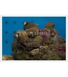 Littorina littorea - Snail - Pimple