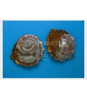 Astraea undosa - Snail - Roman Snail