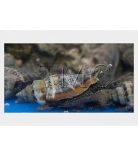 Strombus spp. - Snail - Sand Sifting