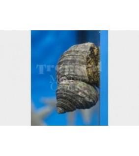 Turbo fluctuosa - Snail - Super Turbo