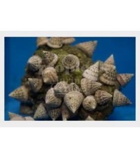 Astraea tectum - Snail - Turbo