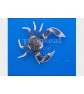 Neopetrolisthes maculatus - Anemone Crab - Pink