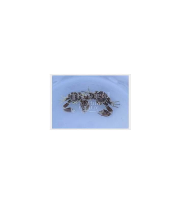 Neopetrolisthes maculatus - Anemone Crab - Pink PAIR