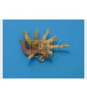 Manucomplanus varians - Antler Crab