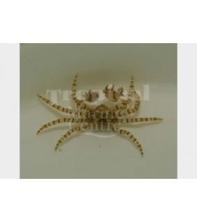 Lybia tesselata - Boxer Crab
