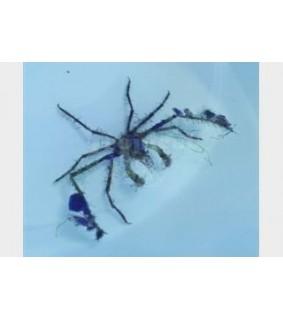 Achaeus spp. - Decorator Crab - Deepwater