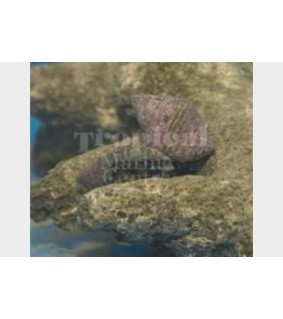Calcinus elegans - Hermit Crab - Met. Blue Leg