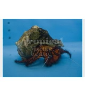 Dardanus megistos - Hermit Crab - Red Hairy