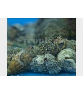 Calcinus spp. - Hermit Crab - Rock