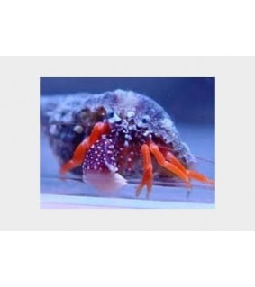 Calcinus spp. - Hermit Crab - Rock White Claw