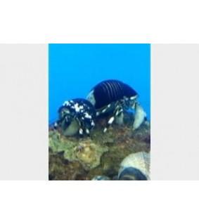 Calcinus laevimanus - Hermit Crab - Zebra (10 +)