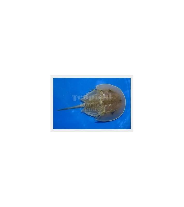 Limulus polyphemus - Horseshoe Crab