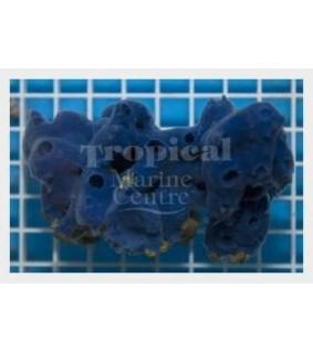 Haliclona spp. - Blue Sponge