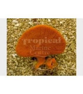 Clathria rugosa - Orange Fan Sponge